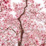 Southern magnolia Florida shade tree